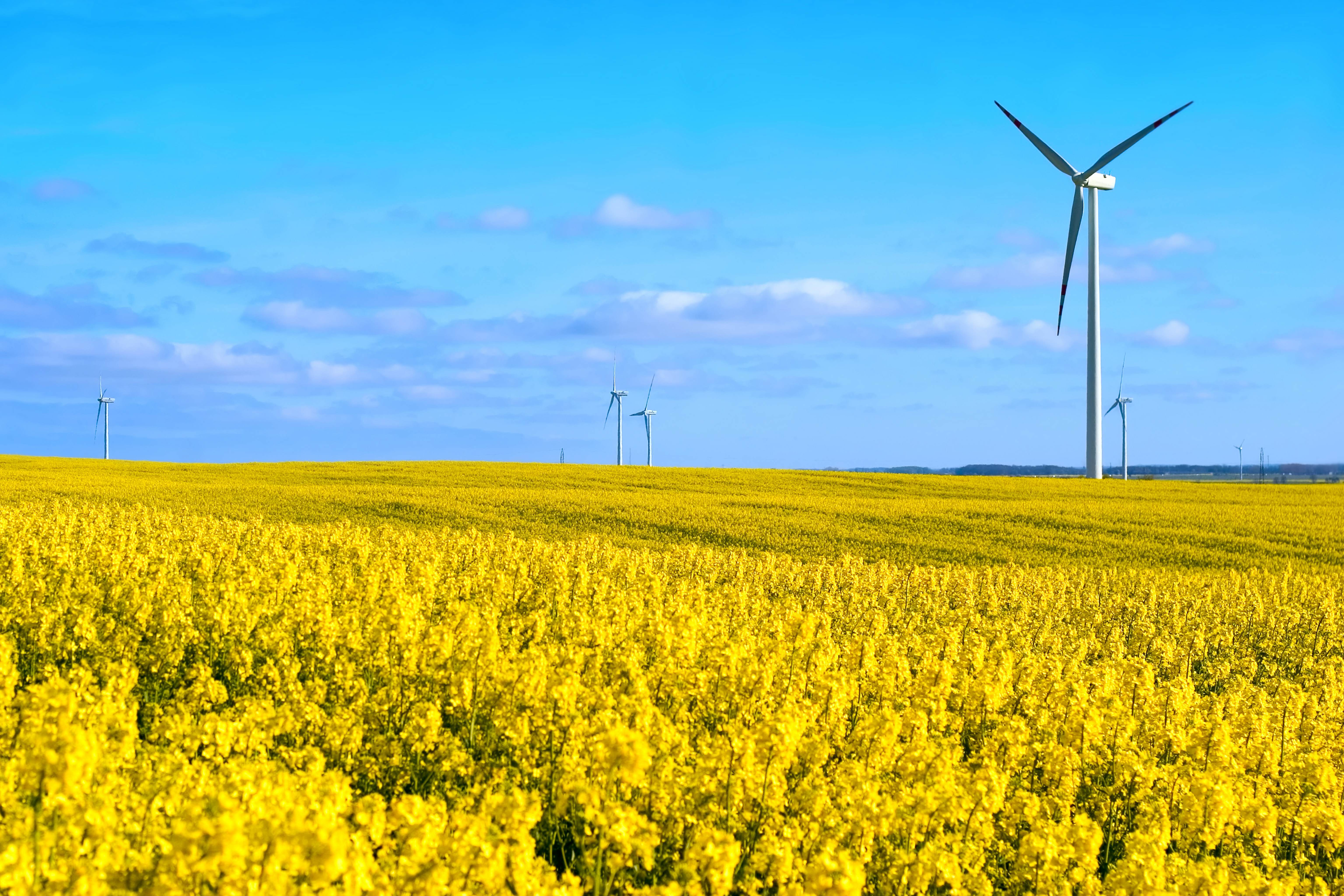 Wind turbines in field of rapeseed