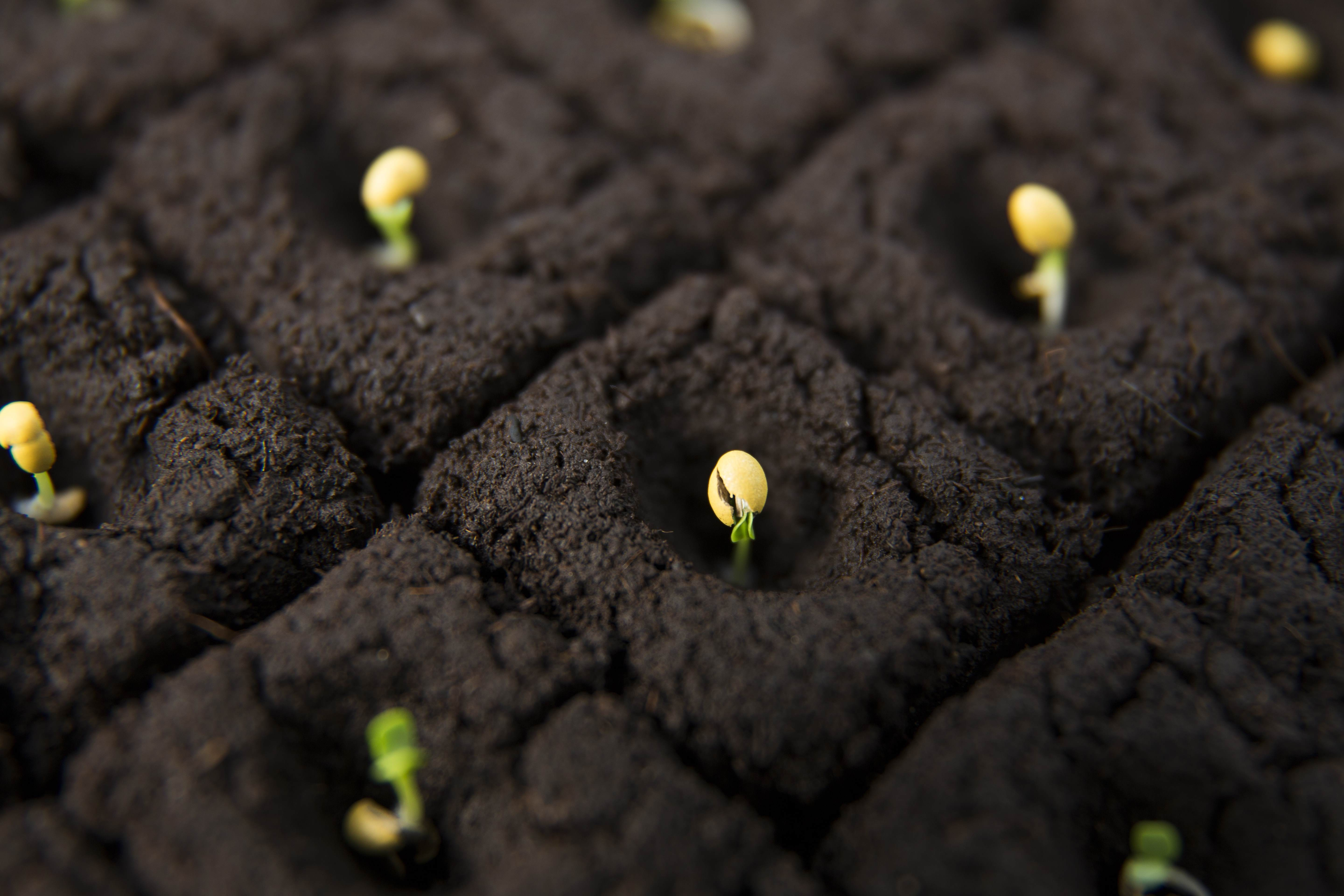 Germinating seeds by Incotec
